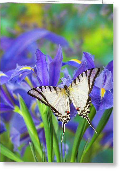 Short-lined Kite Swallowtail, Eurytides Greeting Card by Darrell Gulin