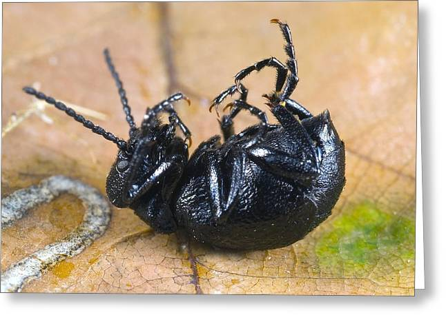 Invertebrates Greeting Cards - Short-necked oil-beetle mimicking death Greeting Card by Science Photo Library