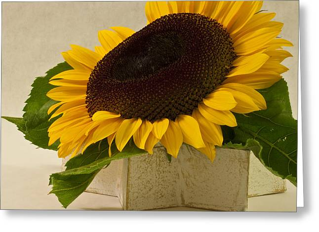 Yellow Sunflower Greeting Cards - Short Petaled Sunflower In Star Box Greeting Card by Sandra Foster