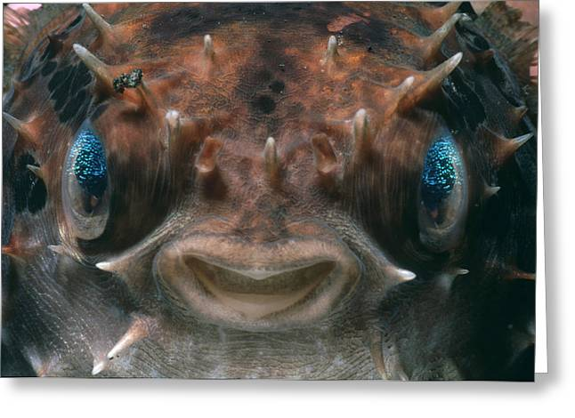 Short-spined Porcupine Fish Greeting Card by Jeff Rotman