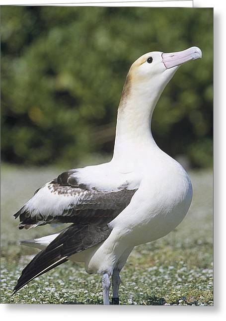 Short-tailed Albatross Lone Female Greeting Card by Tui De Roy