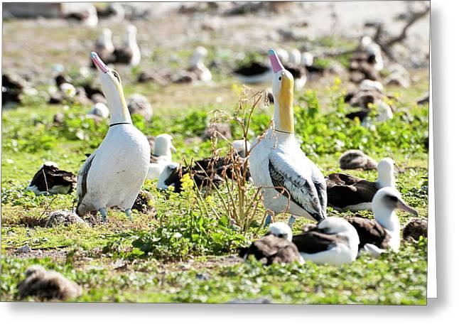 Short-tailed Albatross (phoebastria Greeting Card by Daisy Gilardini