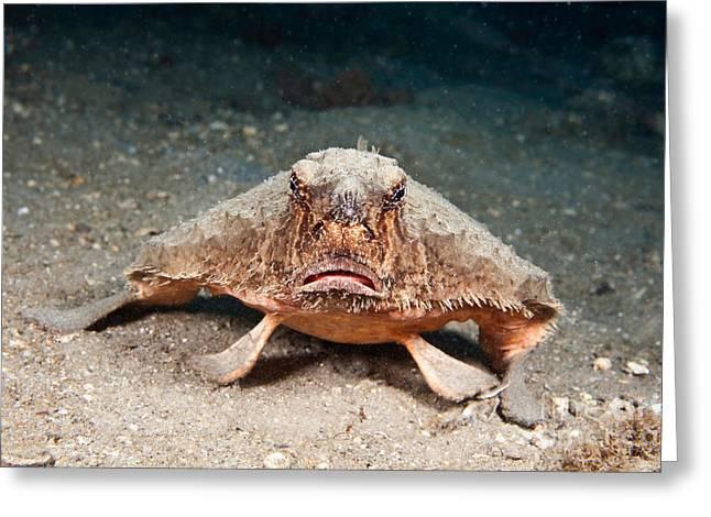 Batfish Greeting Cards - Shortnose Batfish Greeting Card by David Fleetham