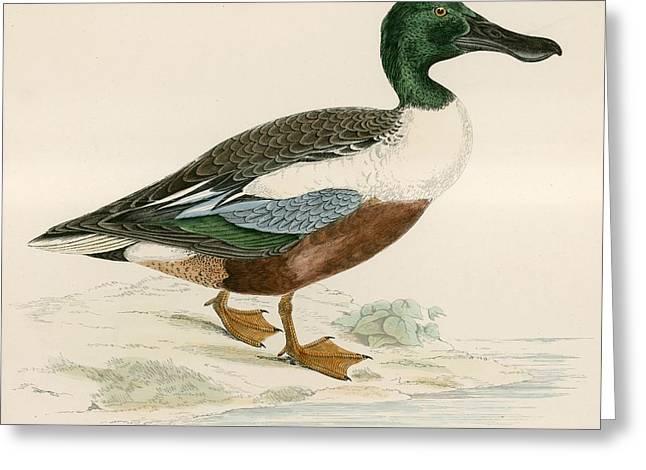 Hunting Bird Greeting Cards - Shoveler Greeting Card by Beverley R. Morris