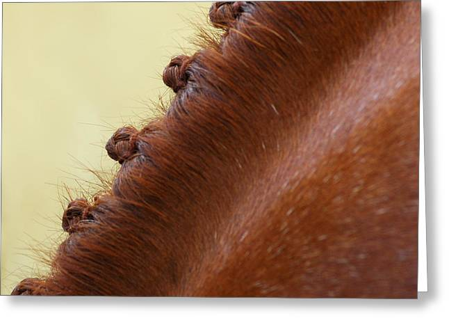 Braiding Greeting Cards - Show Horse Braids Greeting Card by Phil Cardamone