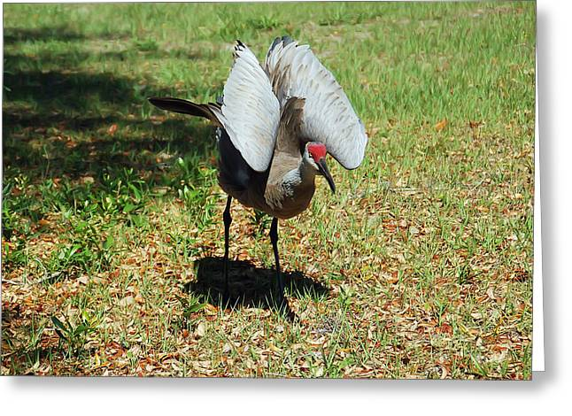 Cranes In Florida Greeting Cards - Show Off Greeting Card by Aimee L Maher Photography and Art