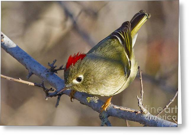 Ruby-crowned Kinglet Birds Greeting Cards - Show-Off Greeting Card by Gary Holmes