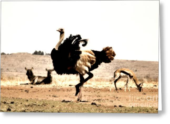 Ostrich Greeting Cards - Show-Off V5 Greeting Card by Douglas Barnard