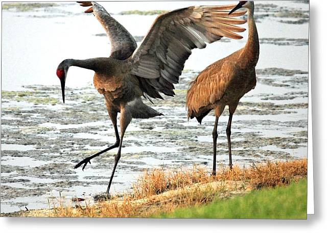 Sandhill Crane Greeting Cards - Showoff Greeting Card by Carol Groenen