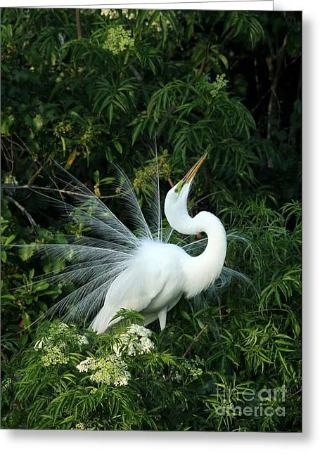 Retro Bird Greeting Cards - Showy Great White Egret Greeting Card by Sabrina L Ryan