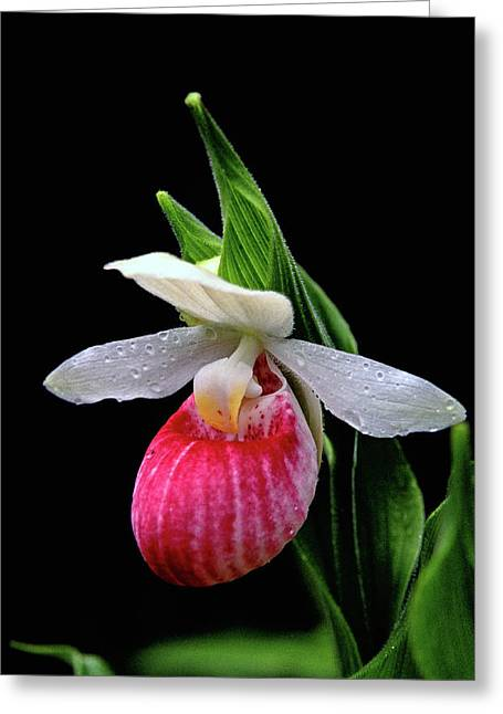 Orchis Greeting Cards - Showy Ladys Slipper Greeting Card by Bill Morgenstern