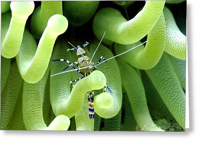 Recently Sold -  - Underwater Photos Greeting Cards - Shrimp and the Anemone Greeting Card by Amy McDaniel