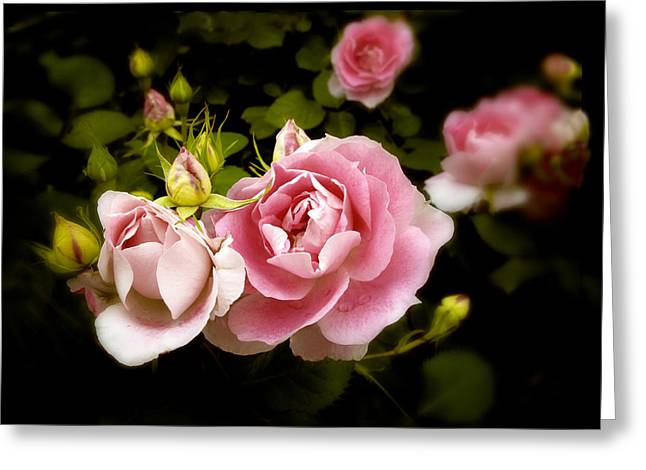Pink Digital Greeting Cards - Shrub Rose Greeting Card by Jessica Jenney