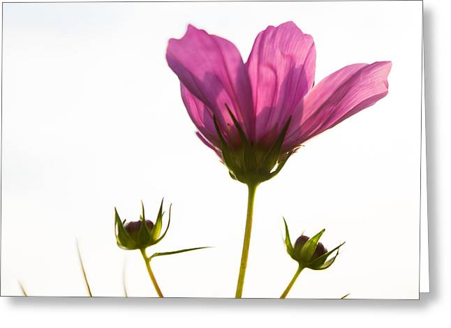 Wisconsin Wildflowers Greeting Cards - Shuttlecock Greeting Card by Bill Pevlor