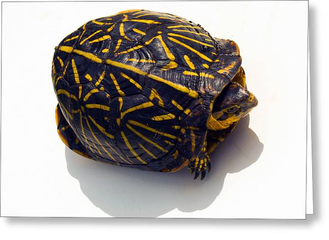 Scuttle Greeting Cards - Shy Box Turtle Greeting Card by Allan  Hughes