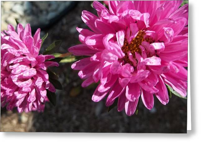 Indiana Flowers Greeting Cards - Shy Greeting Card by Johnna Correll