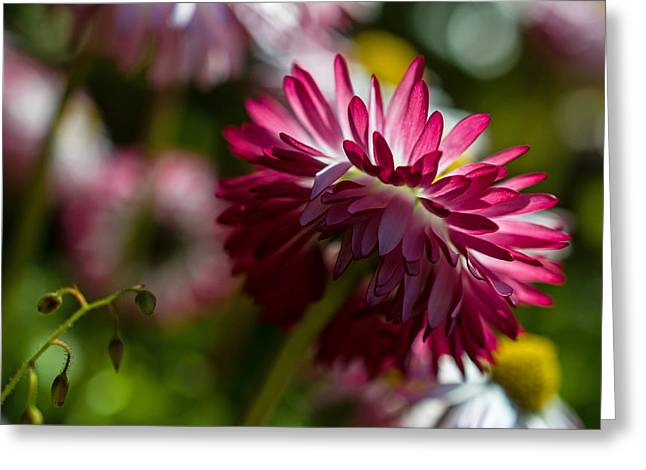 Shy Mum - Chrysanthemum Greeting Card by Jordan Blackstone