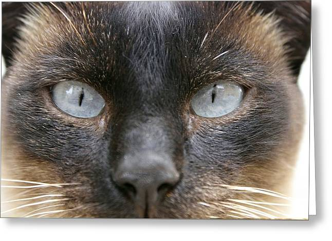 Felis Silvestris Catus Greeting Cards - Siamese cats eyes Greeting Card by Science Photo Library