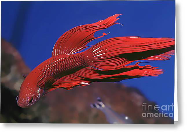 Siamese Fighting Fish Greeting Cards - Siamese Fighting Fish Betta splendens Greeting Card by Wernher Krutein