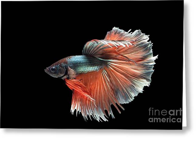 Siamese Fighting Fish Greeting Cards - Siamese Fighting Fish Greeting Card by Jaturapat Pattanacheewin