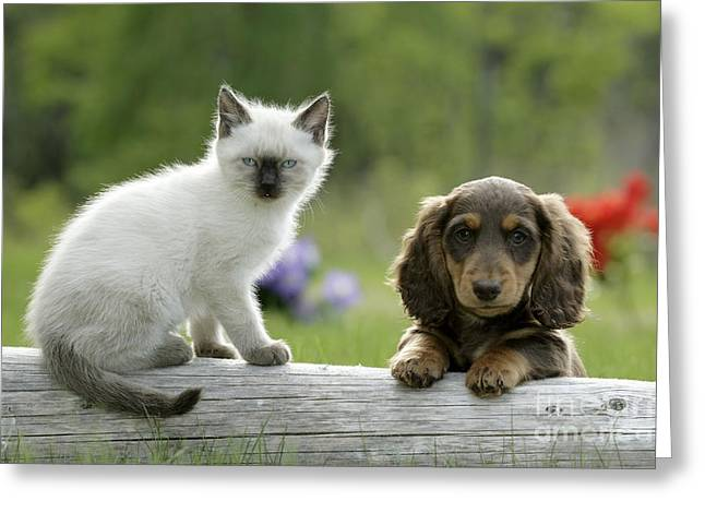 Best Friend Greeting Cards - Siamese Kitten And Dachshund Puppy Greeting Card by Rolf Kopfle