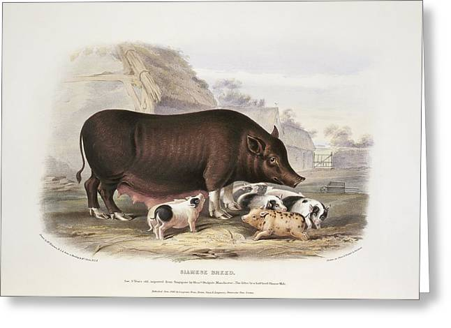 Piglets Greeting Cards - Siamese Pig, 19th century Greeting Card by Science Photo Library