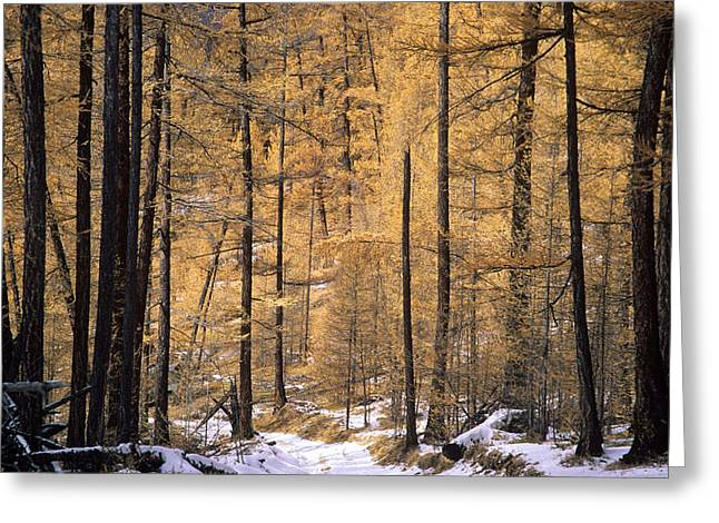 Winter Photos Greeting Cards - Siberian Forest Greeting Card by Anonymous