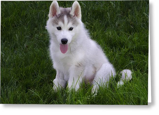 Puppy Digital Greeting Cards - Siberian Huskie Pup Greeting Card by Bill Cannon