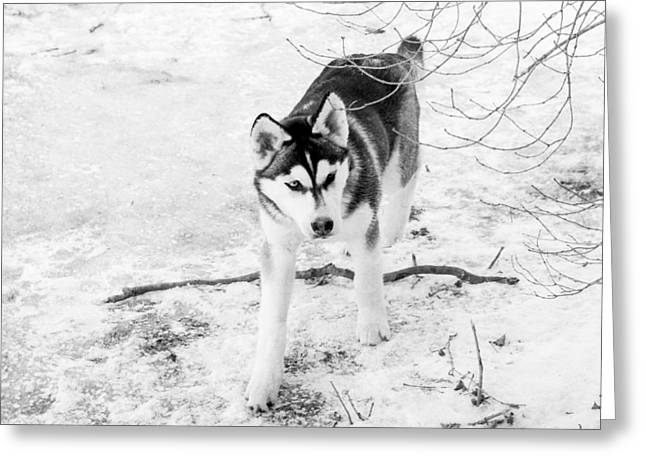 Dog In Snow Greeting Cards - Siberian Husky Greeting Card by Annette Persinger