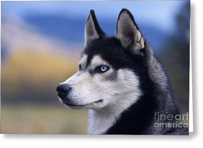Sled Dog Greeting Cards - Siberian Husky Dog Greeting Card by Rolf Kopfle