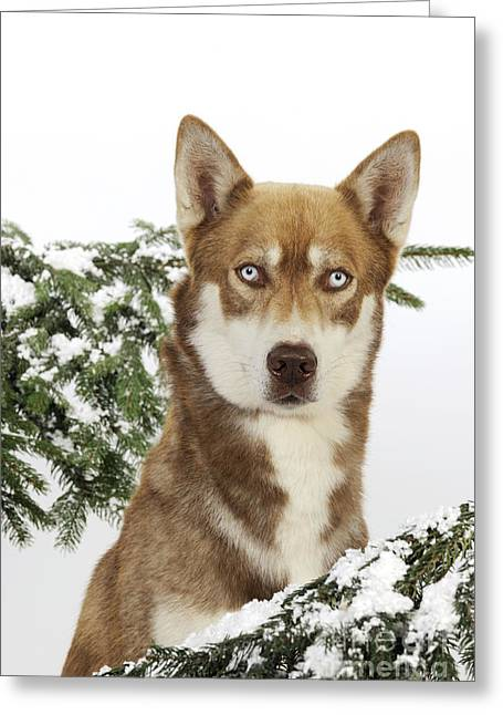 Husky Dog Greeting Cards - Siberian Husky In Snow Greeting Card by John Daniels