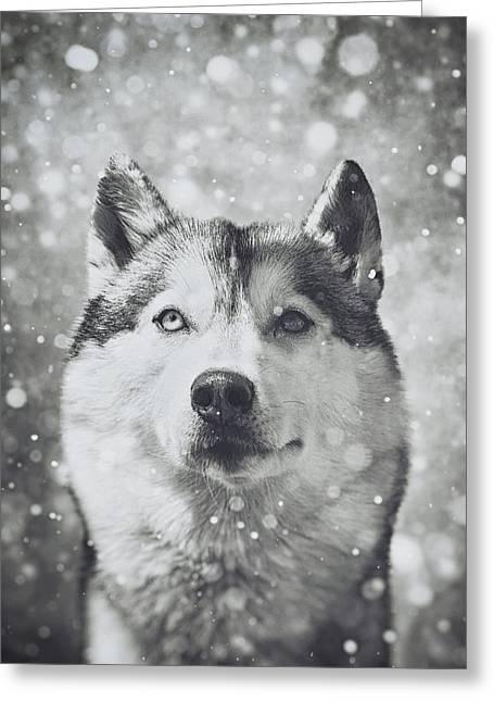 Husky Greeting Cards - Siberian Husky in the Snow Greeting Card by Wolf Shadow  Photography