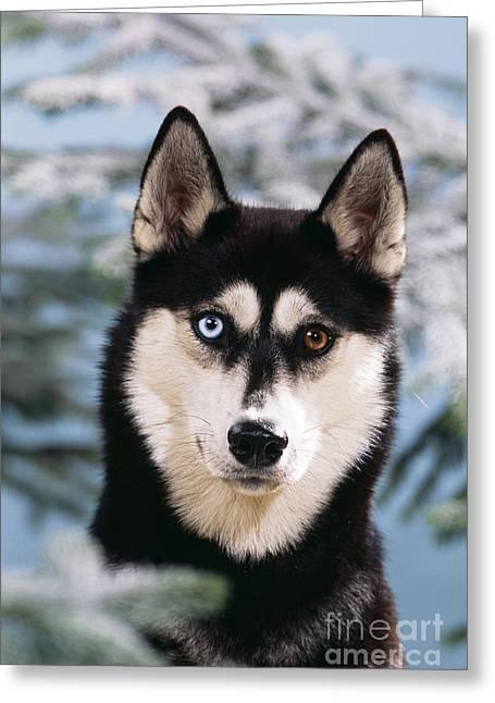 Huskies Greeting Cards - Siberian Husky Greeting Card by John Daniels