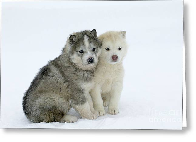 Huskies Greeting Cards - Siberian Husky Puppies Greeting Card by M. Watson