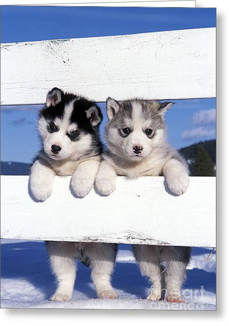 Dog In Snow Greeting Cards - Siberian Husky Puppies Greeting Card by Rolf Kopfle