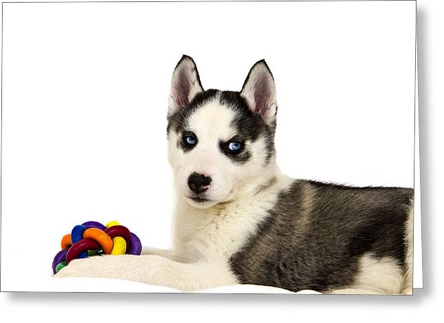 Toy Dog Greeting Cards - Siberian Husky Puppy Greeting Card by Leigh Gregg