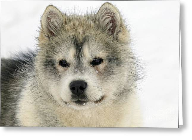 Husky Puppy Greeting Cards - Siberian Husky Puppy Greeting Card by M. Watson