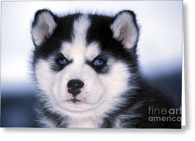 Husky Puppy Greeting Cards - Siberian Husky Puppy Greeting Card by Rolf Kopfle