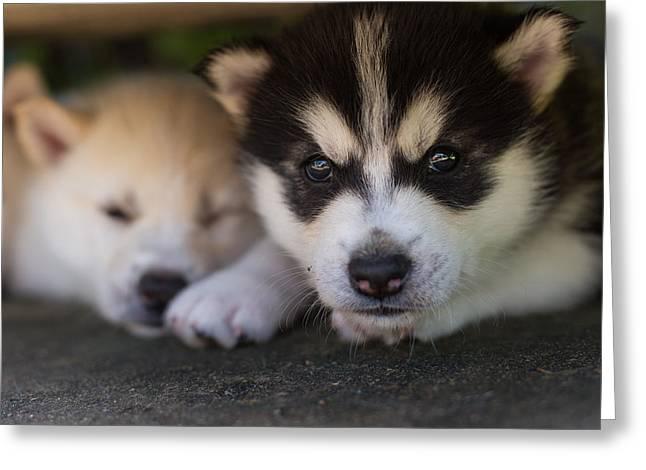 Siberian Husky Pups Greeting Card by Benita Walker