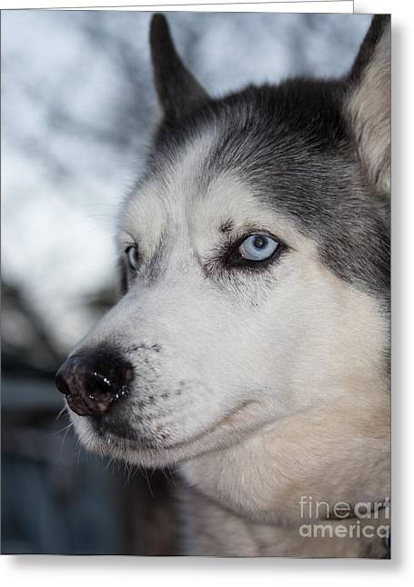 Working Dog Greeting Cards - Siberian Husky Greeting Card by Robert Yaeger