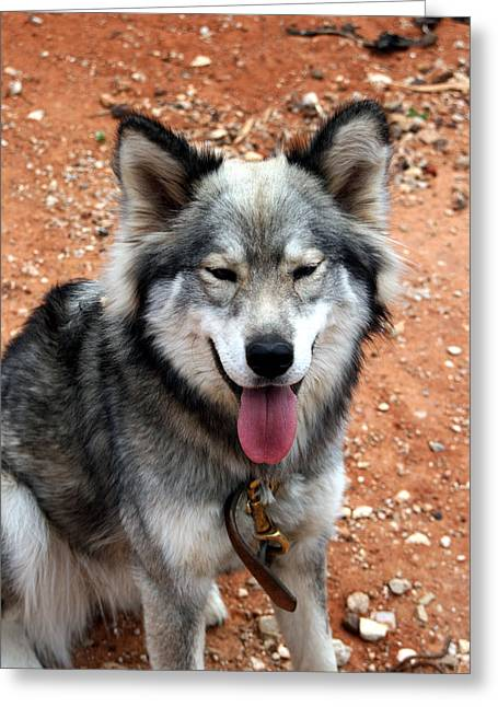 Huskies Mixed Media Greeting Cards - Siberian Husky With Blue and Brown Eyes Greeting Card by Michael Braham