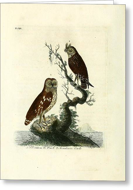 Sea Birds Drawings Greeting Cards - Siberian Owl and Acadian Owl Greeting Card by Unknown Artist