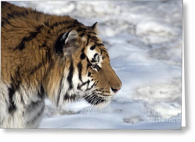 Chinese Tiger Greeting Cards - Siberian Tiger Greeting Card by Mark Newman