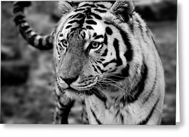 Ledge Greeting Cards - Siberian Tiger Monochrome Greeting Card by Semmick Photo