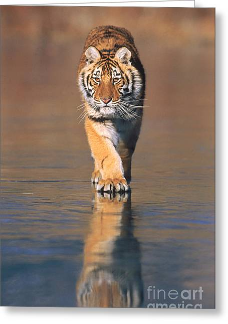 Tigris Greeting Cards - Siberian Tiger Neofelis Tigris Altaica Greeting Card by Tierbild Okapia