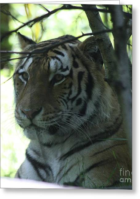 The Tiger Greeting Cards - Siberian Tiger Profile Greeting Card by John Telfer