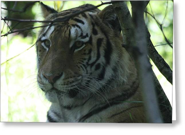 Siberian Tiger Profile Greeting Card by John Telfer