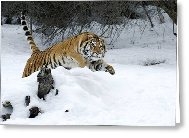 Controlled Environment Greeting Cards - Siberian Tiger Greeting Card by Sandra Bronstein