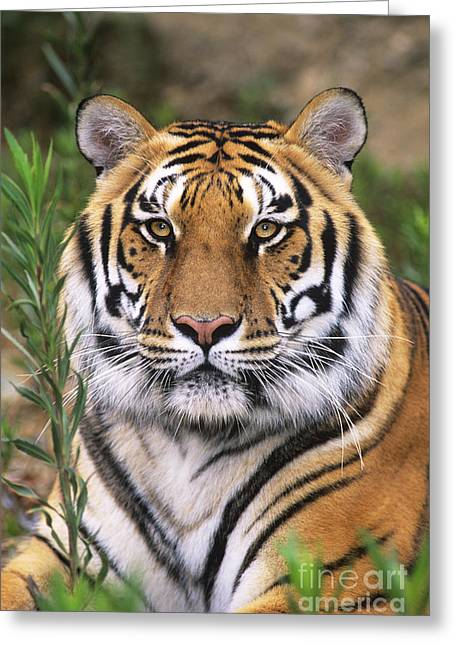 Asian Tiger Greeting Cards - Siberian Tiger Staring Endangered Species Wildlife Rescue Greeting Card by Dave Welling