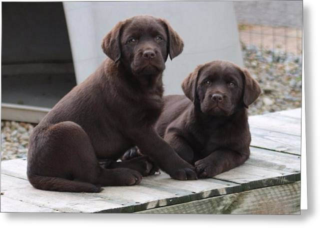 Chocolate Lab Greeting Cards - Siblings Greeting Card by Betty Baker